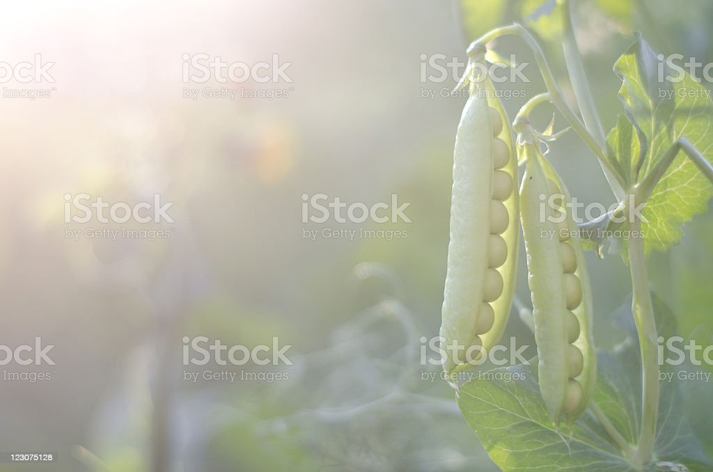 Green pea. royalty-free stock photo