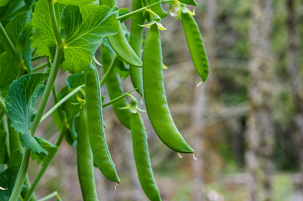 Green pea pods on a pea plant stock photo