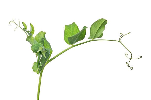 green pea stem isolated on white - foto de acervo