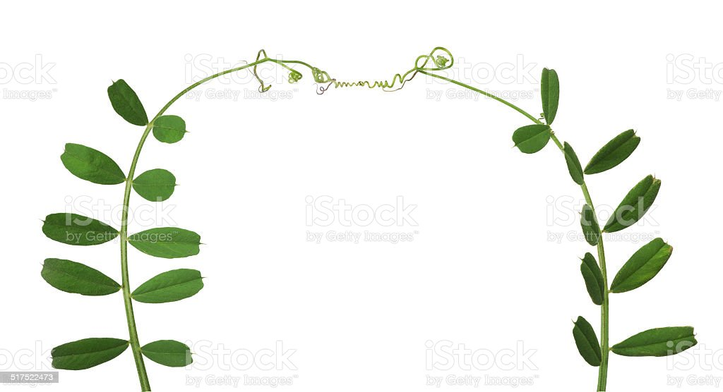 green pea tendrils isolated on white stock photo