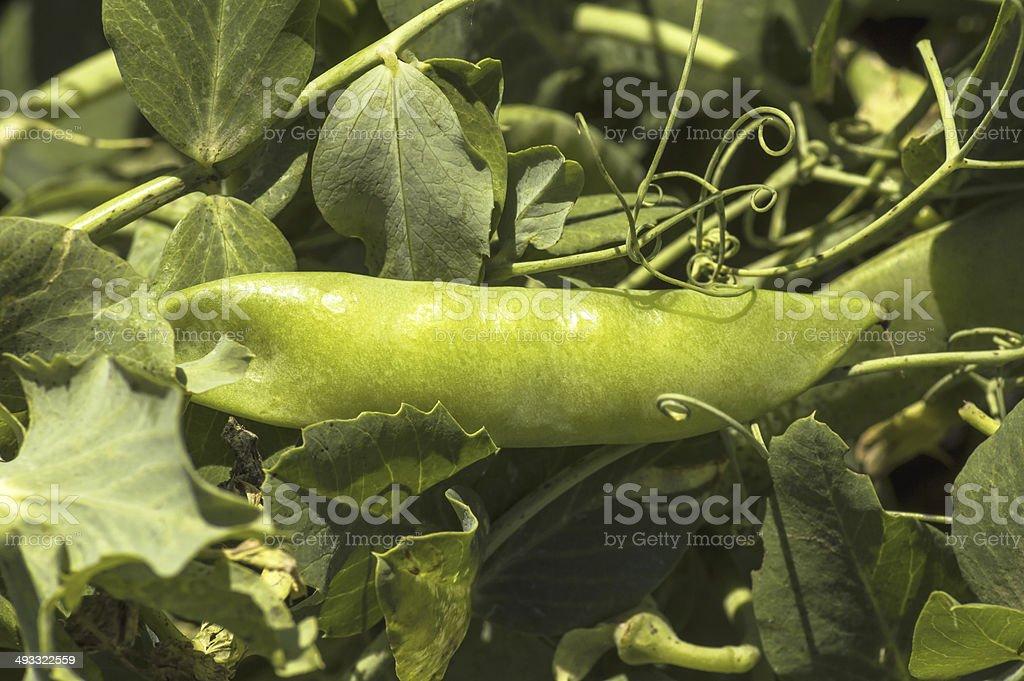 Green peas in the garden. stock photo