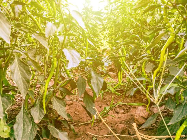 Green pepper plant farm field stock photo
