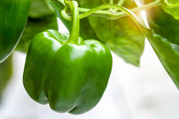 grüne paprika pflanze mit sonne flare - grüne paprikaschoten stock-fotos und bilder