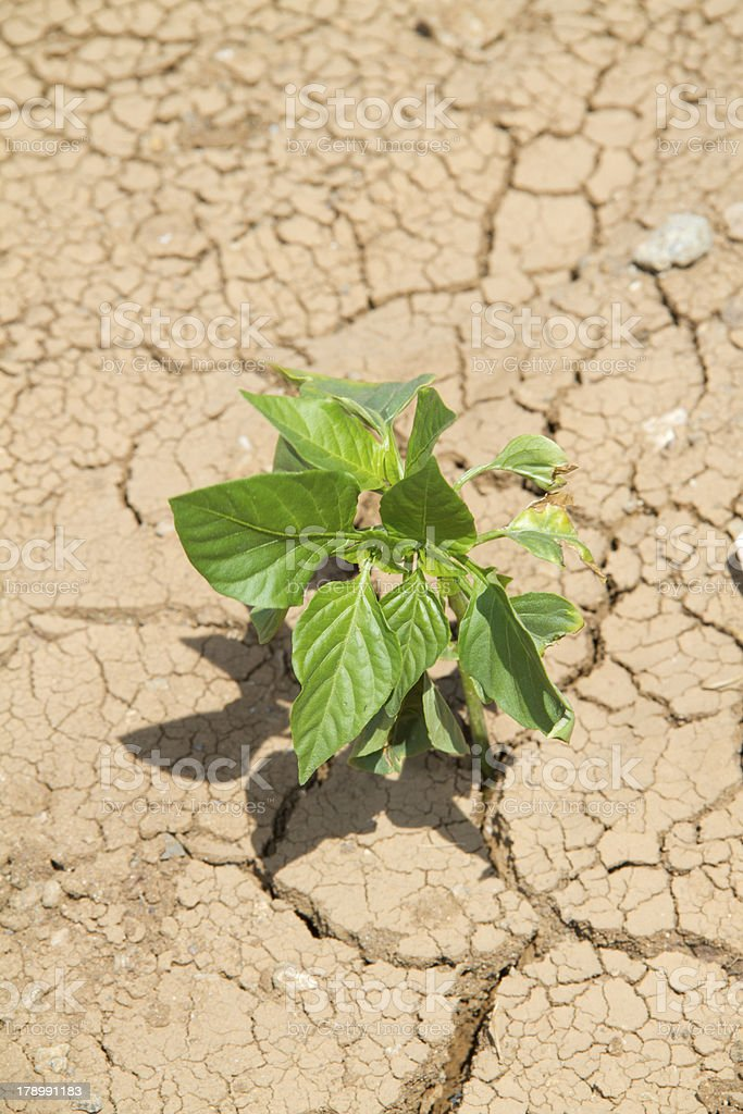 Green Pepper Seedling on cracked sand royalty-free stock photo