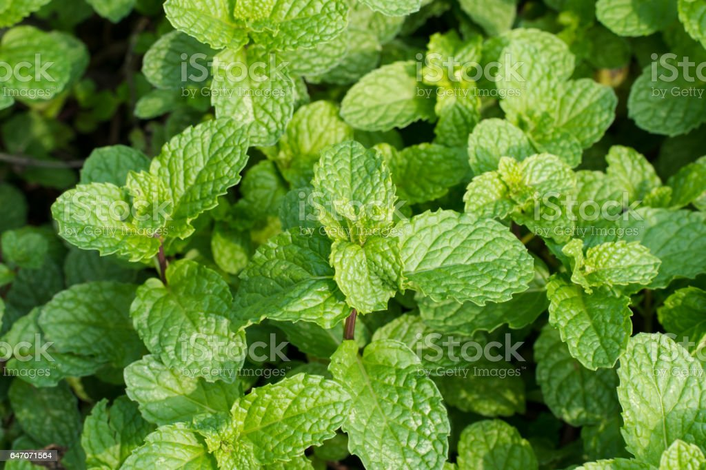 Green Peppermint Leaves Background Royalty Free Stock Photo