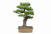 pine tree bonsai isolated on white background, miniature garden