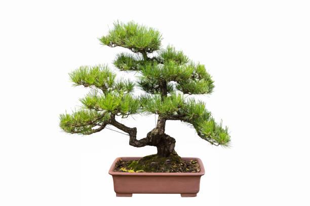 grünen Pinien bonsai – Foto