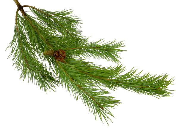 green pine branch with cones isolated on white background without a shadow. Christmas. New Year. Nature in details. stock photo