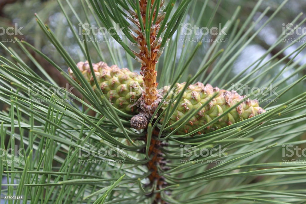 Green pine cones, hanging in the forest like two twin brothers. stock photo
