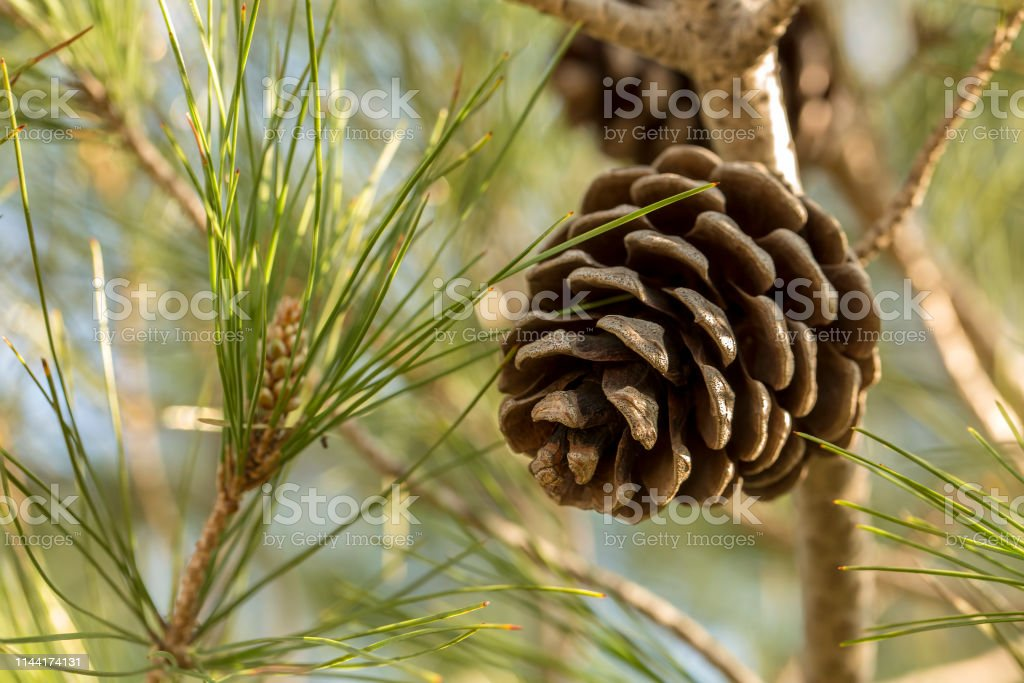 Green pine cones in a Pine Tree