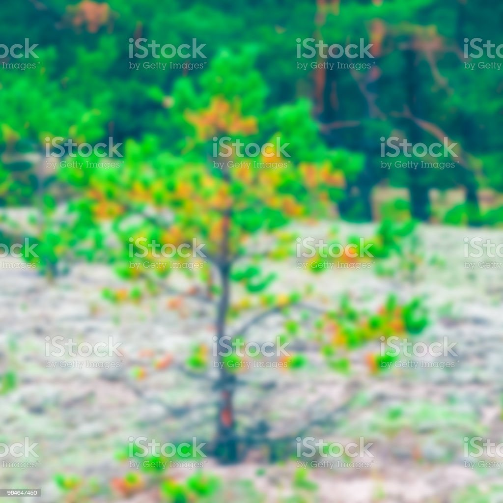 Green pine forest - blurred image royalty-free stock photo