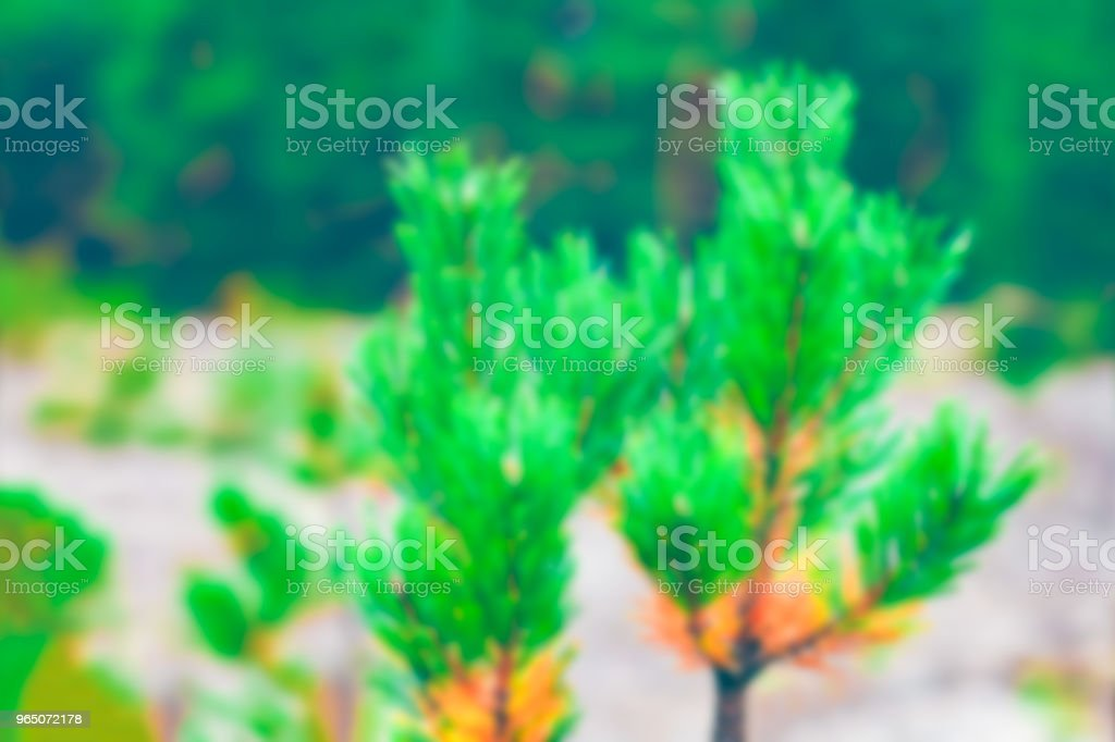 Green pine forest - blurred image zbiór zdjęć royalty-free