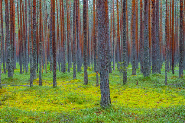 Green pine forest. Rythmes of straight trunks. stock photo