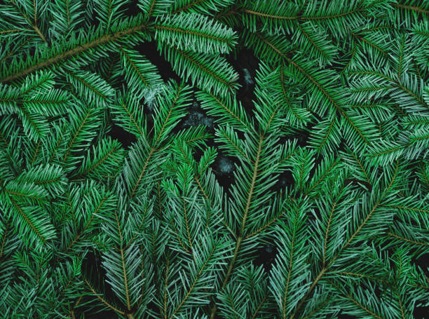 green pine leaves on the ground - pine tree stock photos and pictures