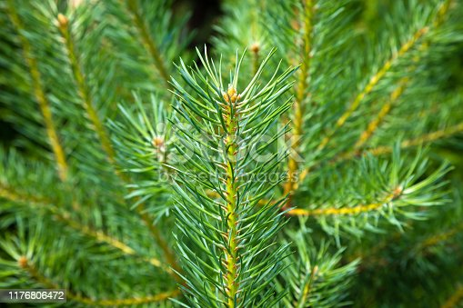 Young fresh pine branch close-up on the background of blurred other branches of the tree.
