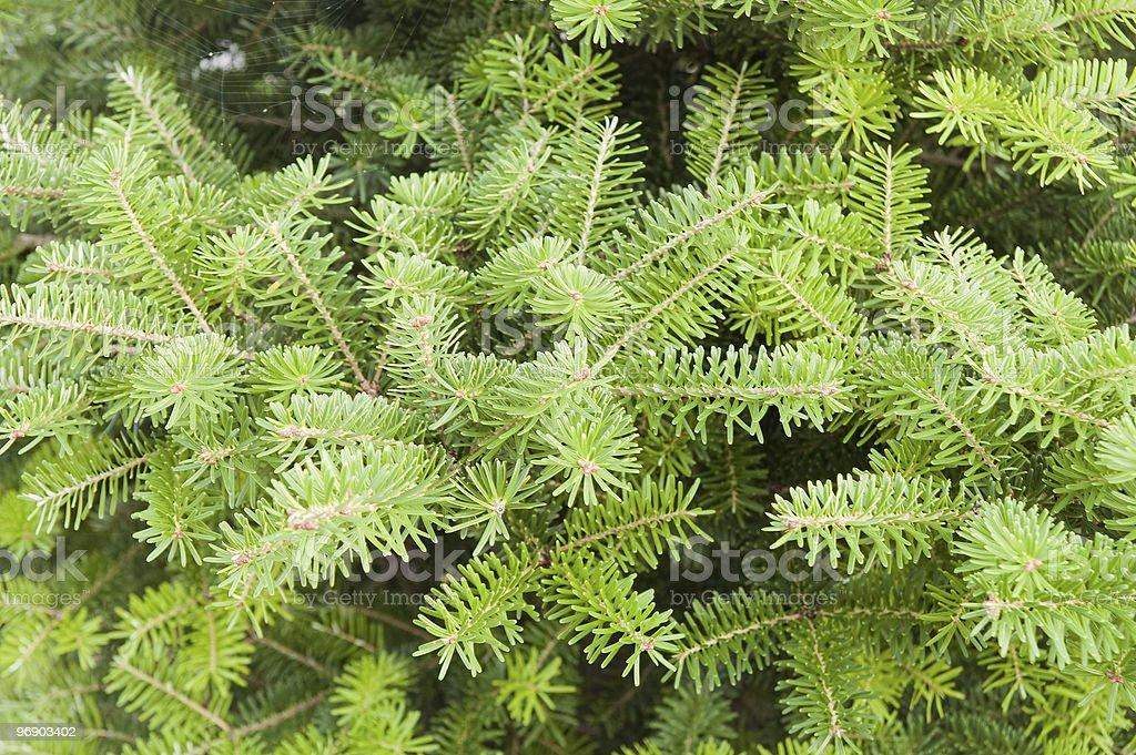 green pine royalty-free stock photo