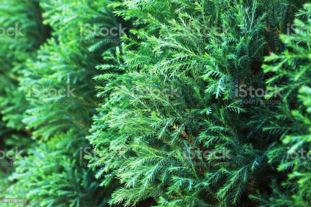 green pine tree leaf for pattern and background stock photo