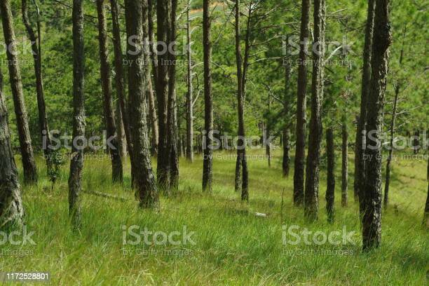 Photo of green pine woodland and beauty sunlight in the forest at sunrise
