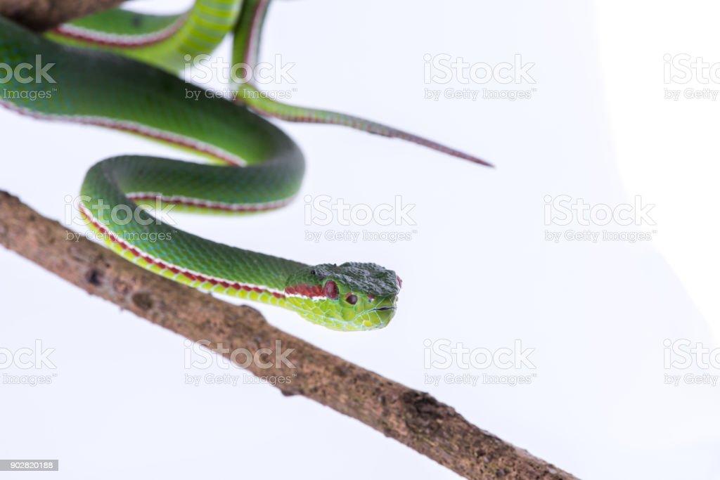 Green pit viper bites on white background ,Snake of Thailand stock photo