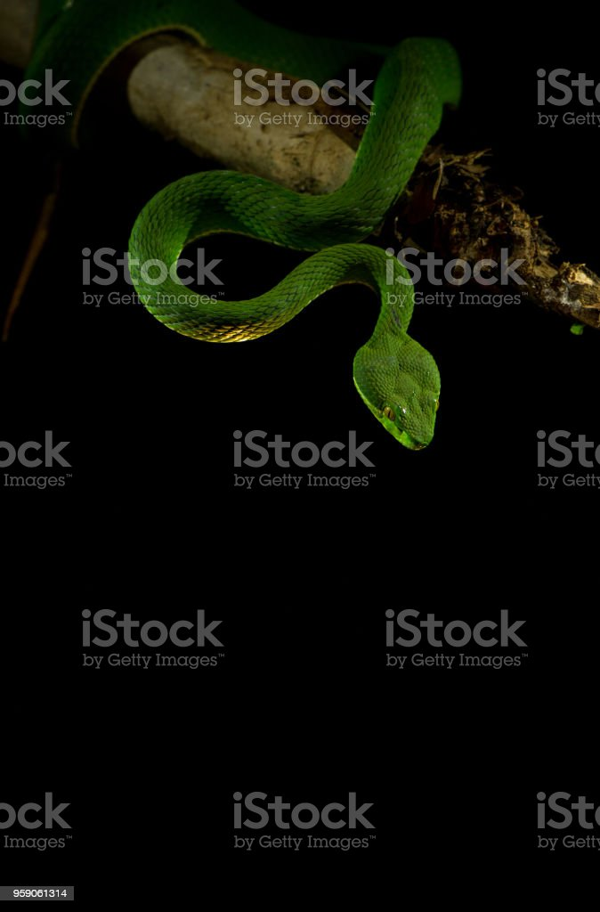 Green Pit Viper On Black Background Stock Photo - Download