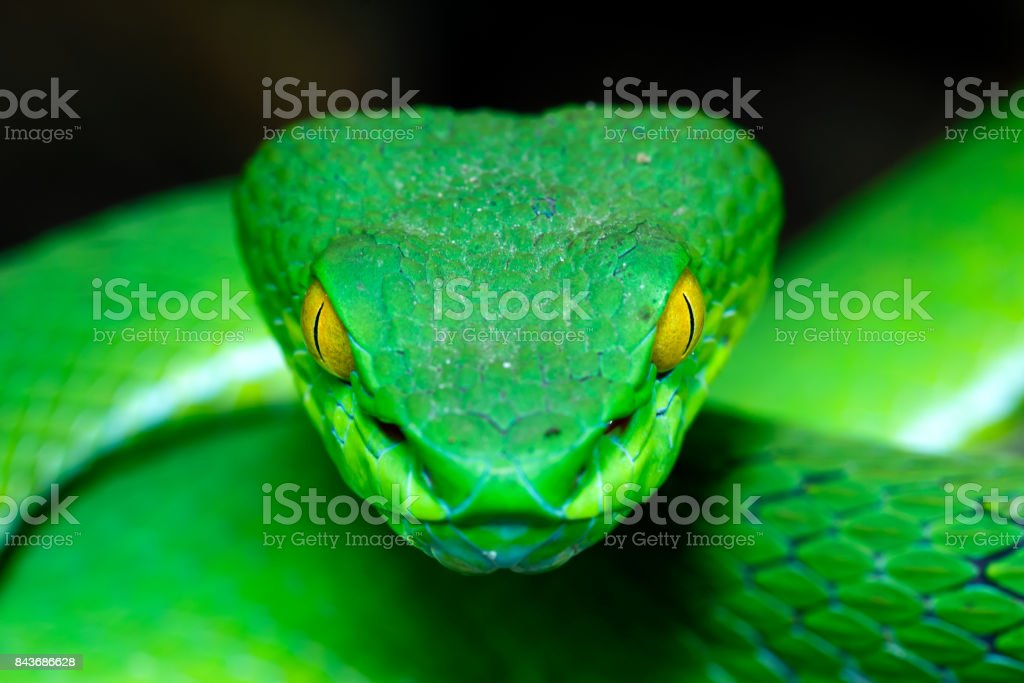 Green Pit Viper Front view Large-eyed Green Pitviper (Trimeresurus macrops)(focus on the eye shallow DOF) the endemic specie of Southeast Asia Animal Stock Photo