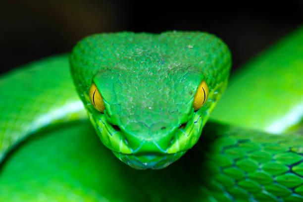 Green Pit Viper stock photo