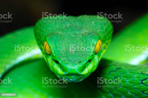 Green Pit Viper Stock Photo - Download Image Now