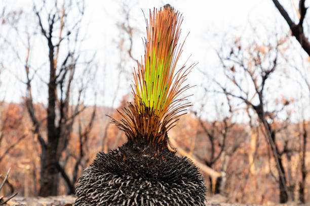 A green plant amongst severely burnt Eucalyptus trees after a bushfire in The Blue Mountains stock photo