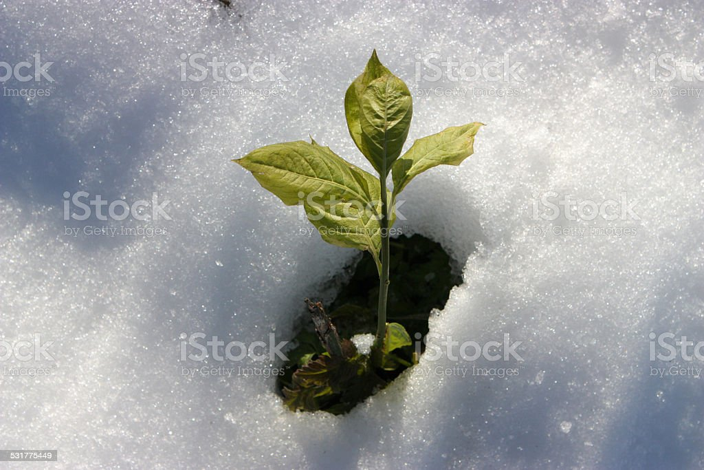Green Plant from Snow stock photo
