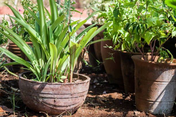 Green plant growing in the pot in backyard stock photo