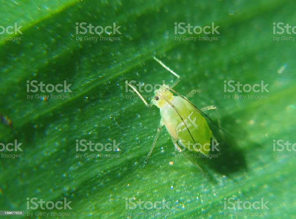 green plant louse stock photo