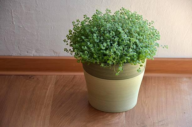 Planta verde llamada