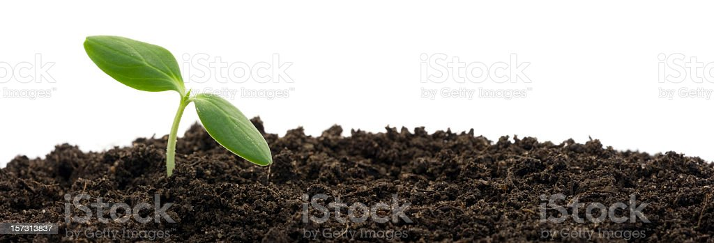 Green plant sprout with two leaves emerging from soil royalty-free stock photo