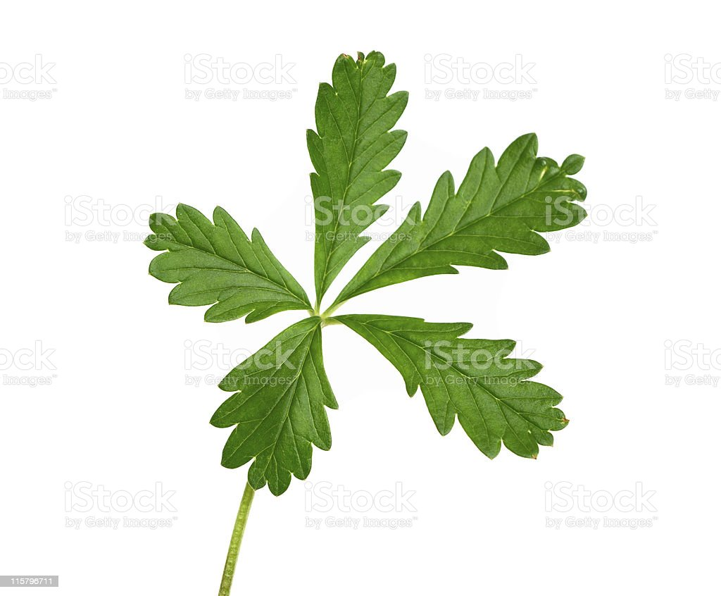 green plant with five leaves isolated stock photo
