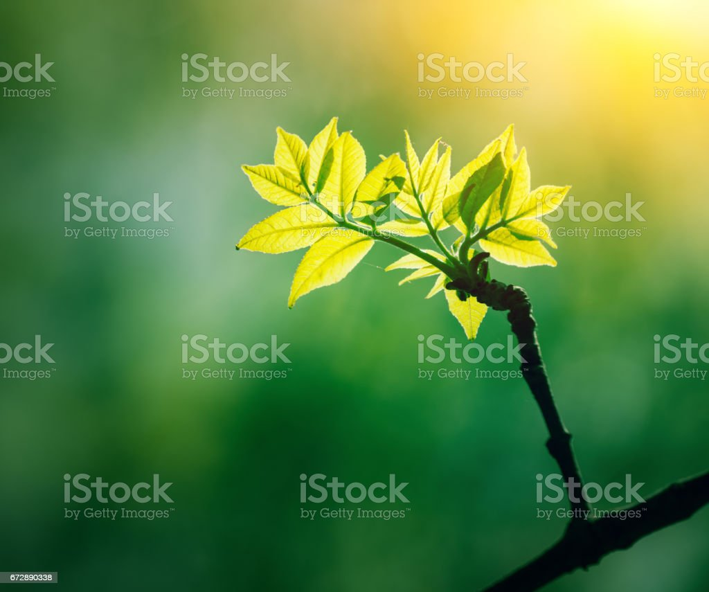 Green plant with growing leaves in sun light stock photo