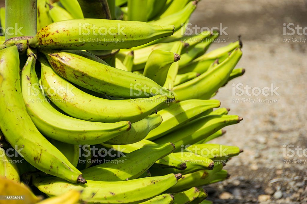 Green plantain or maduro stock photo