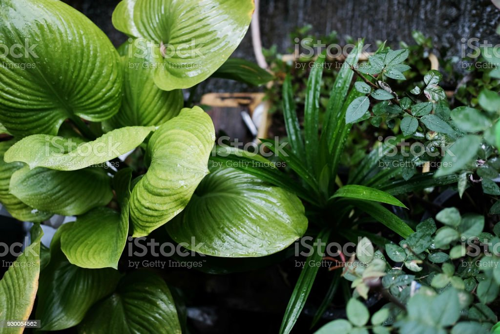 Green plants and vegetable Garden.Drops after the rain. stock photo
