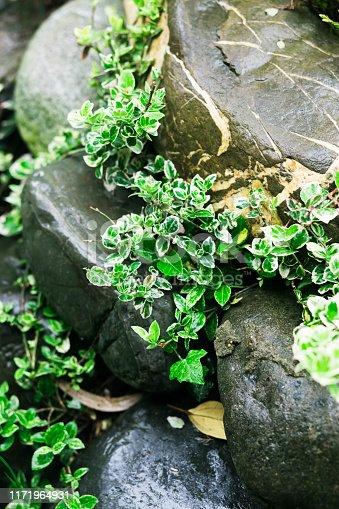 909651510istockphoto green plants between the stones after the rain 1171964931