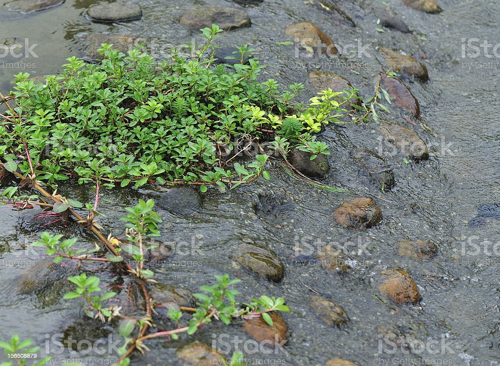 green plants grow in water royalty-free stock photo