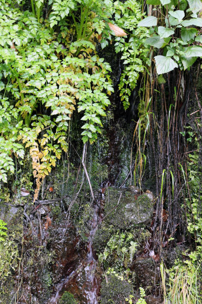 Green Plants Growing on a Dark Wall Near a Levada in Madeira stock photo