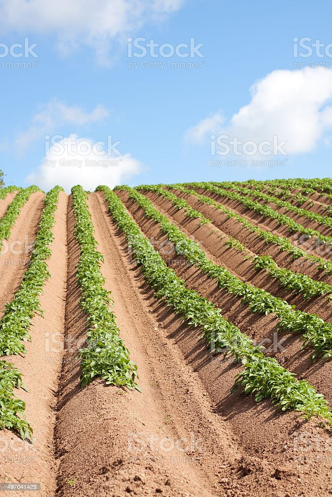 Green Plants in a Field royalty-free stock photo