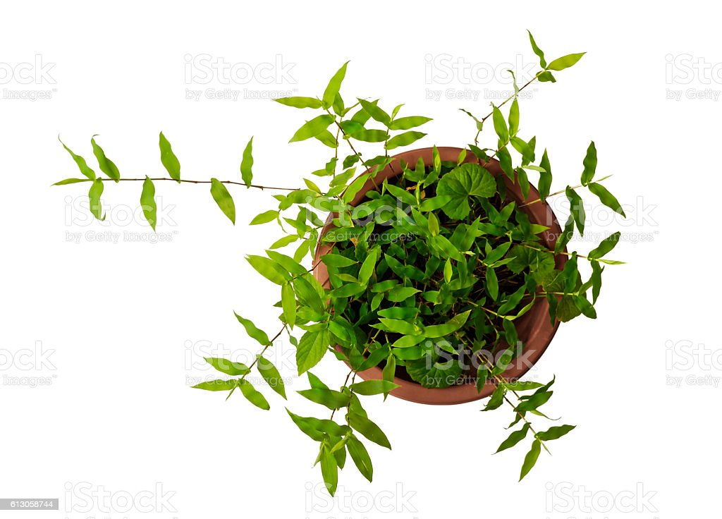 Green plants in the flowerpot stock photo