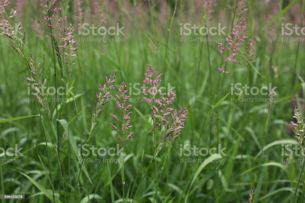 Green Plants in the Meadow, Fraser  Valley, British Columbia, Canada stock photo