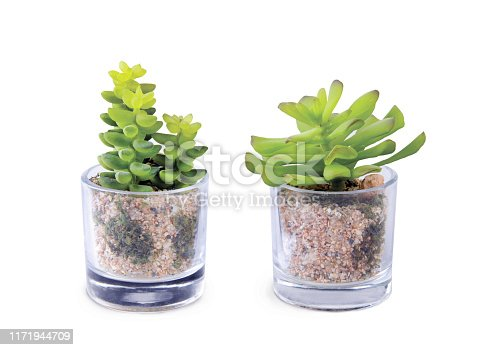 Green plants, succulents in a transparent glass cup on a white background. Home decor, a popular decoration for the interior. Side view, cut out, with path.