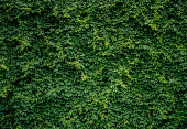 Green plants wall. PARTHENOCISSUS.