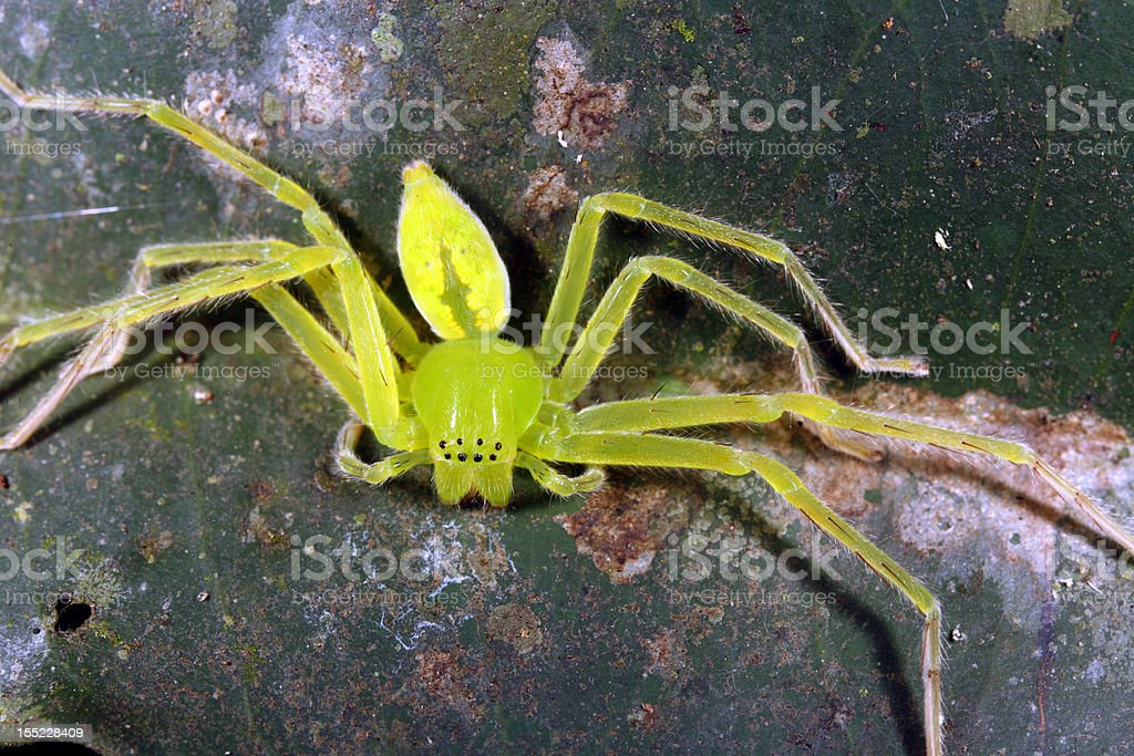 Green platorid crab spider royalty-free stock photo