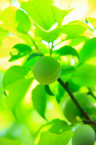 green plum - sonnenbrand heilen stock-fotos und bilder