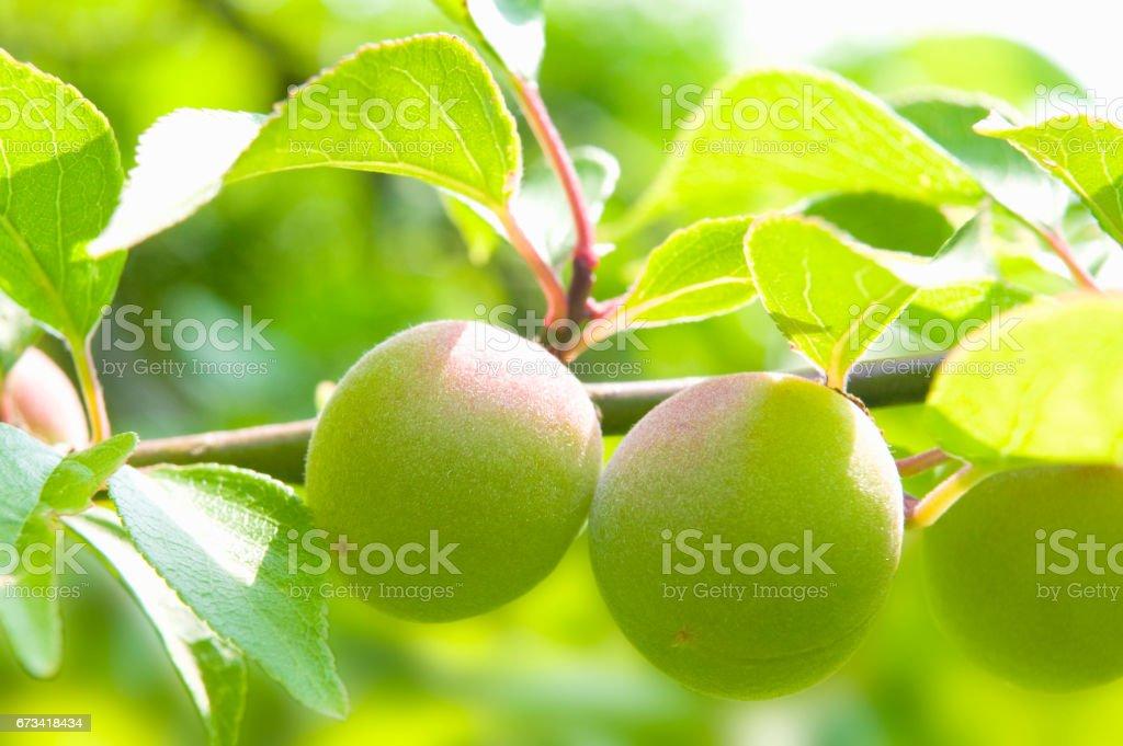 Verde de ameixa - foto de acervo