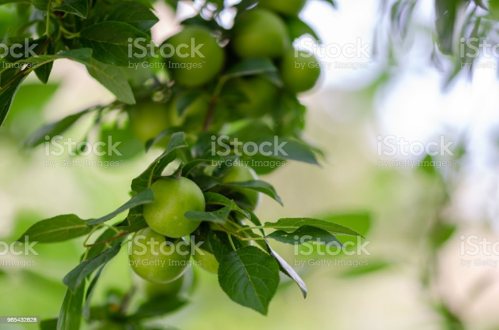 Green plum tree in spring royalty-free stock photo