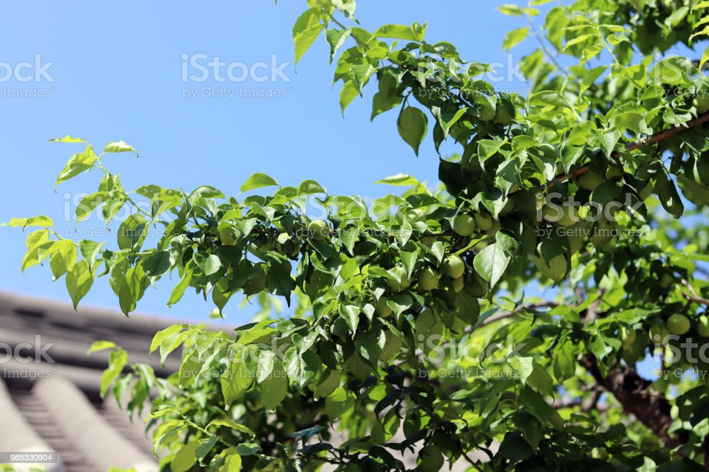 Green plum trees bear fruit with traditional Korean houses in the early summer sky. royalty-free stock photo